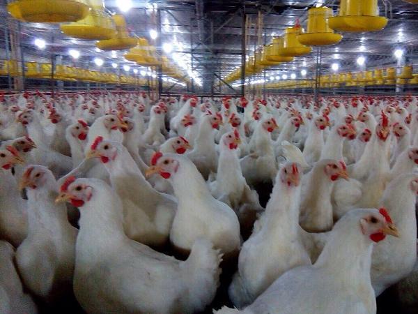 Báo cáo gây sốc: 99% số gà siêu thị mắc căn bệnh sọc trắng