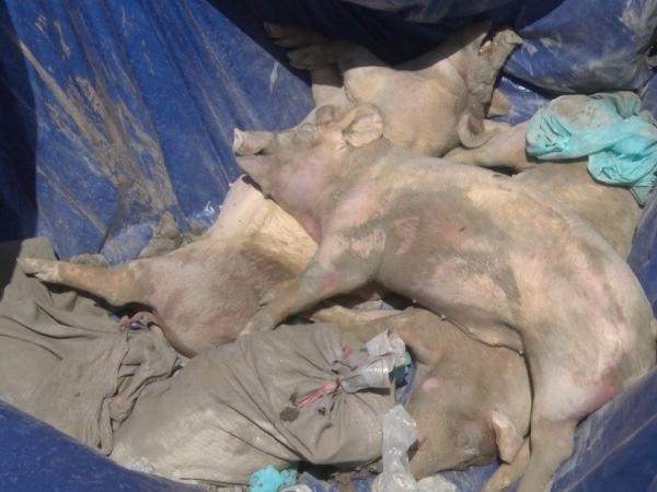 Khẩn cấp: Dịch tả lợn châu Phi tái bùng phát trở lại ở nhiều địa phương