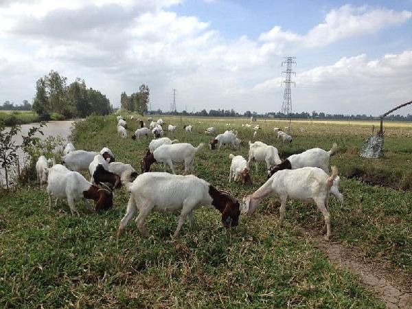 Cung không đủ cầu, tiềm năng thị trường nuôi dê lấy thịt rất lớn