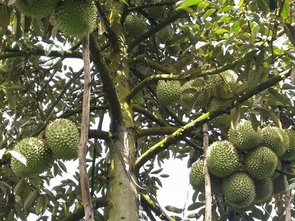 CS-Đảo đất, 'bí quүết' thành công của lão nông hơn 20 năm trồng sầu riêng sạch