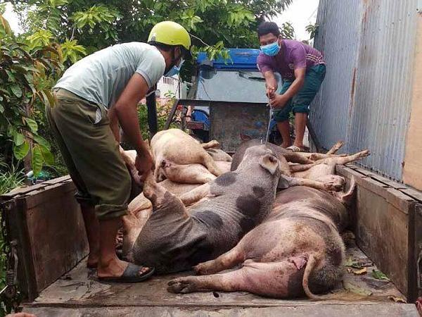 Thêm 9 địa phương tái bùng phát dịch tả lợn châu Phi, cảnh giác lúc giao mùa