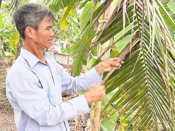SB-Kiểm soát sâu đầu đen hại dừa bằng nuôi ong ký sinh Habrobracon hebetor