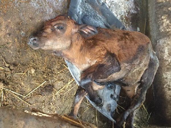 Xuất hiện virus lây lan nhanh khiến hơn 1.200 con bò bị chết, thiệt hại nặng nề