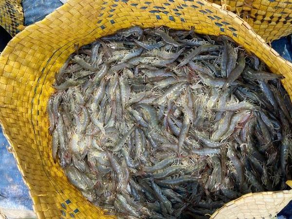 Tin vui: Nhà máy thủy sản gấp rút hoạt động trở lại, giá tôm bật tăng mạnh