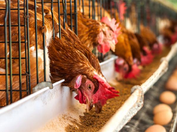 N-Phòng tránh hội chứng giảm đẻ trên gà