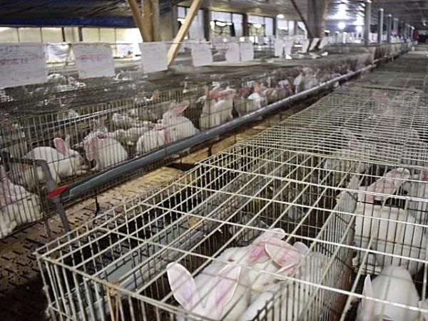 Doanh thu 4 tỷ/năm nhờ nuôi thỏ trong chuồng lạnh