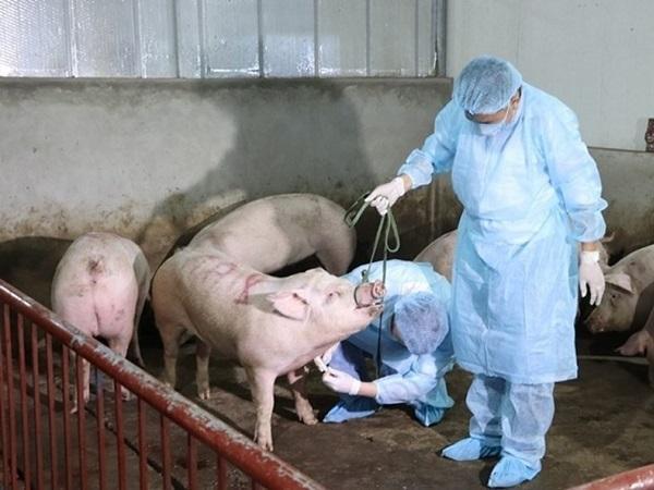 Tin vui: Tập đoàn Dabaco Việt Nam sản xuất vaccine dịch tả lợn Châu Phi