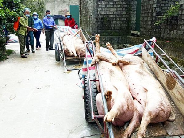 Liên tiếp xuất hiện các ổ dịch tả lợn châu Phi mới, phát hoảng với số lợn chết