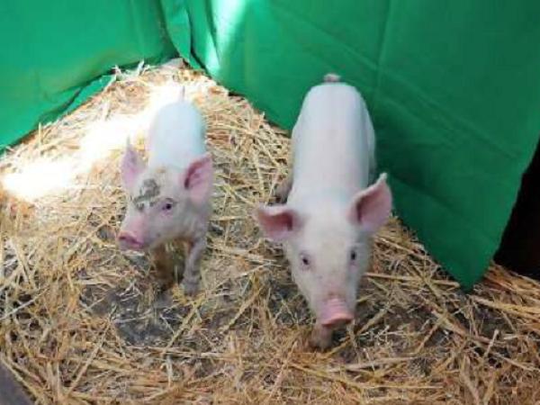 Sản xuất giống lợn có khả năng kháng Virus Dịch tả lợn châu Phi