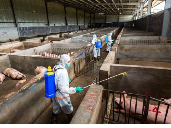Hà Nội phát sinh dịch tả lợn châu Phi ở huyện Ba Vì
