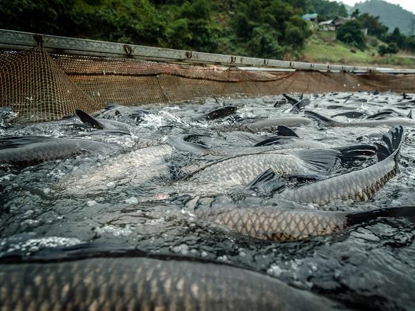 Khởi nghiệp nuôi cá, thu về 2 tỷ sau 8 tháng