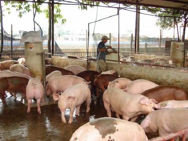 Dự báo heo hơi về mức 25.000 đồng/kg, ngành chăn nuôi ước lỗ 80.000 tỉ đồng
