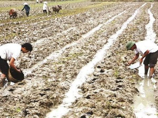 CS-Quy trình kỹ thuật trồng cây ngô vụ đông trên đất 2 lúa