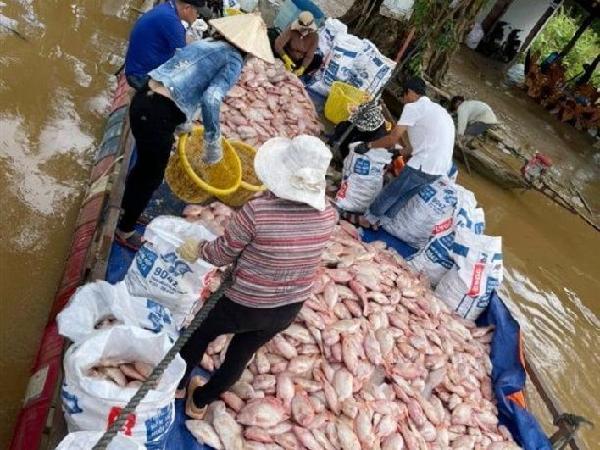 Hơn 755 tấn cá diêu hồng nuôi bị chết do mưa lớn: còn chưa kịp bán vì dịch