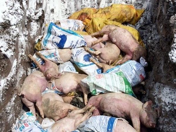 Nóng: Phát hiện nhiều đàn lợn nhiễm dịch tả lợn châu Phi