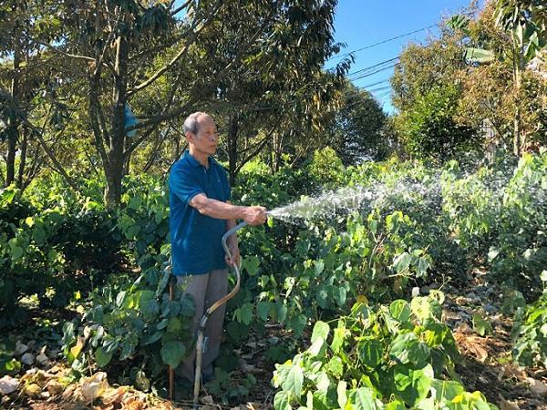 Trồng thứ rau rừng tốt bời bời trong vườn sầu riêng, cứ 1 sào thu về 20 triệu/ 1 tháng