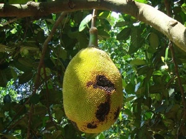 SB-Phòng trừ ruồi đục trái và bệnh thối trái gây hại mít