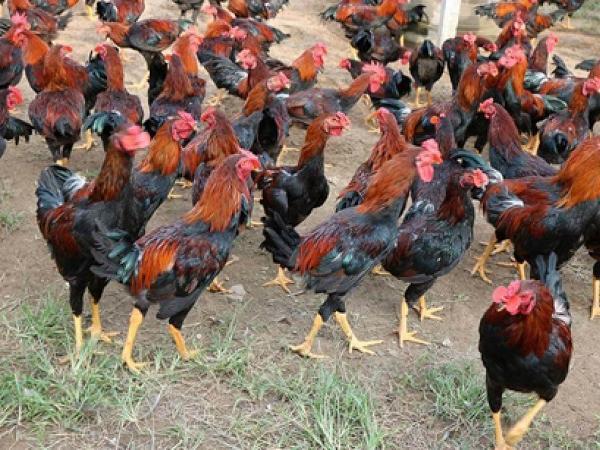 Ung dung thu lãi cả trăm triệu đồng từ nuôi gà giữa mùa dịch