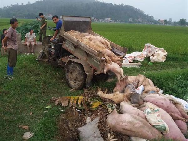 Tiêu hủy hơn 100 tấn lợn nhiễm dịch tả châu Phi, kiểm soát chặt giết mổ