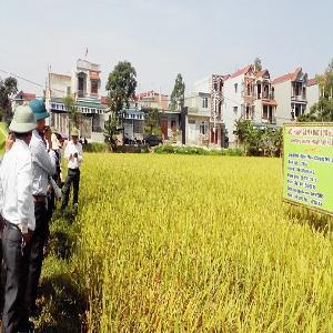 Bao tiêu lúa hữu cơ sinh học với giá gấp 150-180 so với lúa thường