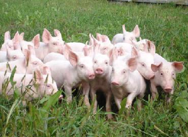 [ Kỹ Thuật Chăn Nuôi ] Cách Lựa Chọn Giống Lợn
