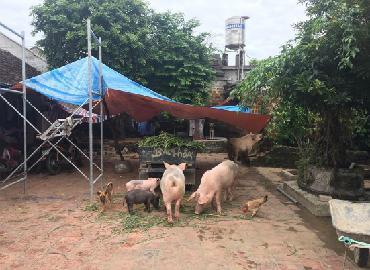 Giá lợn (heo) hôm nay 20.10: Thực hư tin đồn giá lợn hơi tăng lên 34.000 đồng/kg