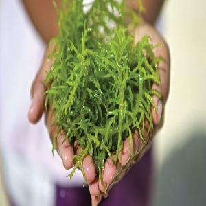 Chiết xuất tảo giảm tỷ lệ tiêu chảy trên heo con