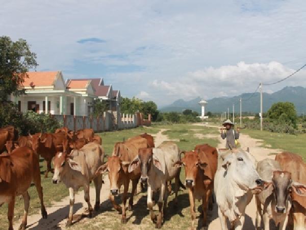 """Bò rớt giá 50%, nông dân Ninh Thuận bán 1 con """"thủng túi"""" 7 triệu"""