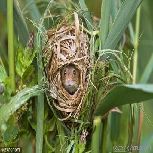 Hải Phòng: Nạn chuột hoành hành trên các cánh đồng