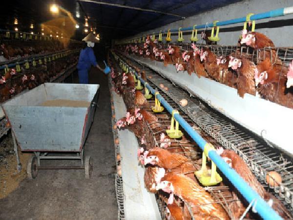 Dự báo giá gà cuối năm: Giá gà tăng 7.000 đ/kg và đến Tết còn tăng