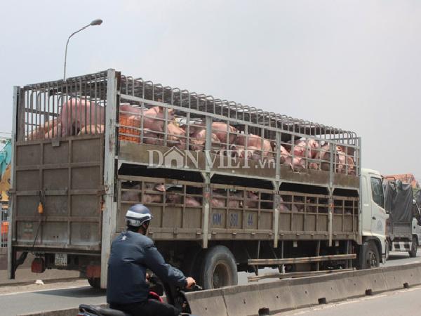 Vì sao lợn của doanh nghiệp giá 35.000 đ/kg, lợn của dân chỉ có giá 29.000 đ/kg?