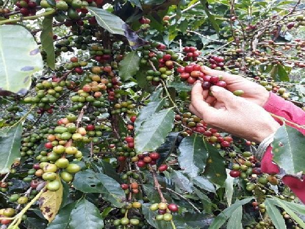 """Giá cà phê tươi tăng, quả sai chi chít, nông dân Sơn La """"trúng quả"""""""