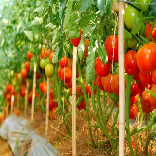 Cần Thơ: Xây dựng mô hình trồng rau ăn trái theo hướng an toàn vệ sinh thực phẩm