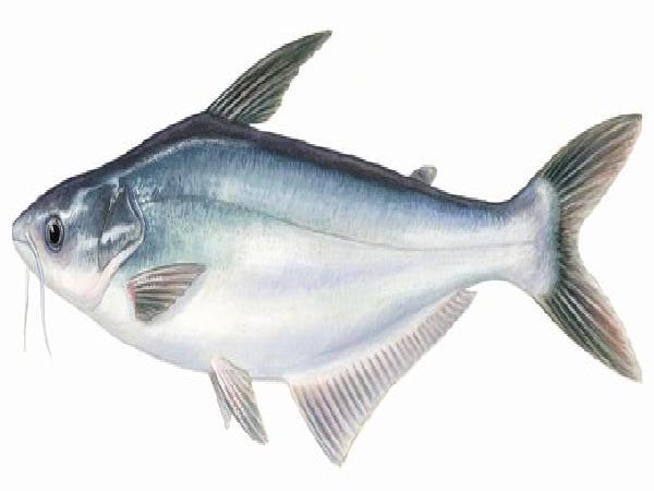 NT-Kỹ thuật làm bè nuôi cá tra và cá basa