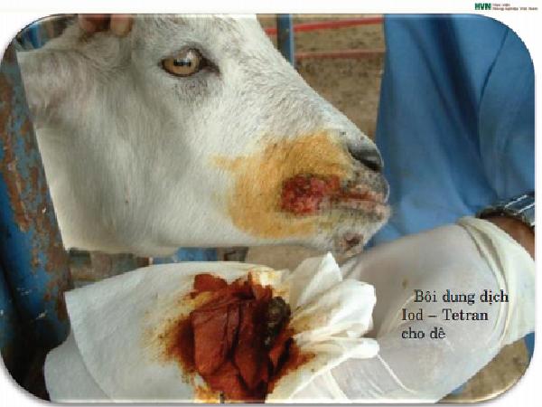N-Nhận biết và phòng trị bệnh viêm loét miệng truyền nhiễm ở dê, cừu
