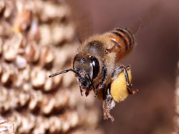 N-Kỹ thuật tạo chúa và nhân giống ong mật