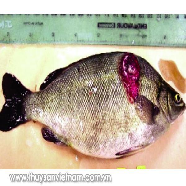 Một số bệnh ký sinh trùng trên cá nuôi