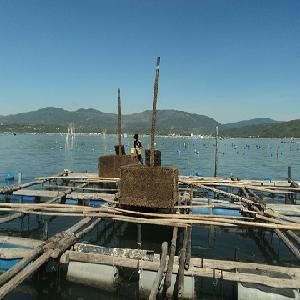 Phú Yên: Mô hình nuôi tôm hùm bằng chế phẩm sinh học