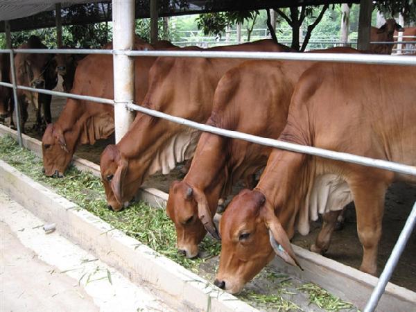 Đam Rông (Lâm Đồng): Xuất hiện bệnh lở mồm long móng trên đàn bò