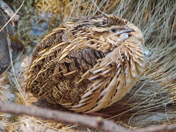 N-Kỹ thuật nuôi chim cút thịt