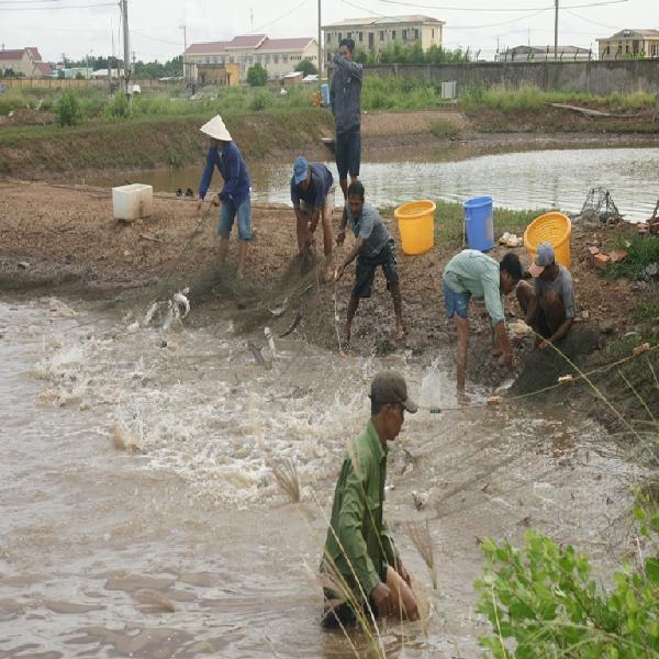 Mô hình nuôi cá dứa trên nền ao nuôi tôm nước lợ