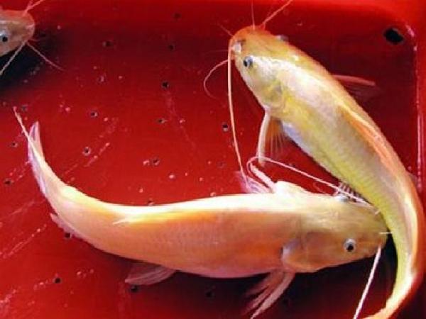 NT-Kỹ thuật nuôi cá lăng vàng