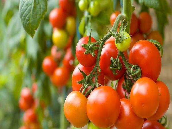Mô hình trồng cà chua ghép trong nhà lưới hiệu quả cao
