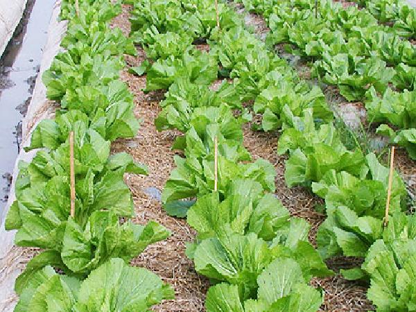 Kỹ thuật trồng và bón phân cho cây cải ngọt