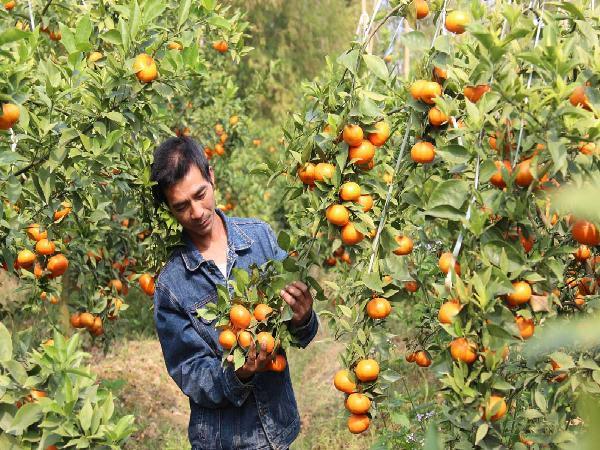 Xã có nhiều tỷ phú trồng cam bật mí chiêu bón phân hiệu quả