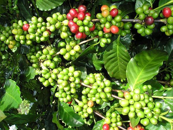 THA 1 - giống cà phê thích hợp để tái canh trồng mới