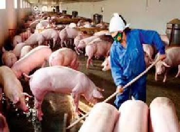 Hệ lụy từ phá vỡ quy hoạch chăn nuôi