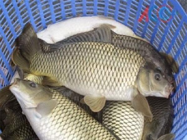 CB-Một số bệnh thường gặp trên cá chép và cách điều trị