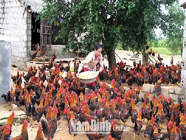 Để lúa lên bông chét nuôi gà thả...đồng