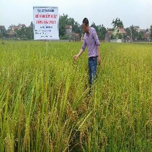 Giới thiệu quy trình thâm canh giống lúa CNC11